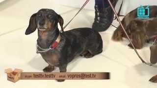 TEST.TV: Все для животных. Самые громкие собаки Таксы.