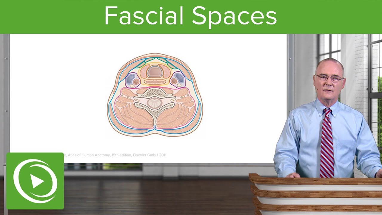 Fascial Spaces & Surgical Access to Trachea: Neck – Head and Neck ...