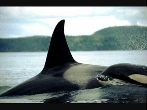 Male/ Female Orcas