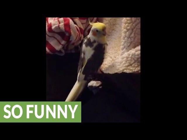 Cockatiel mimics iPhone ringtone perfectly!