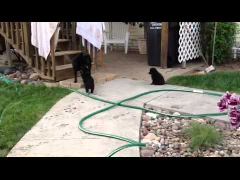 Schipperke puppies 6 weeks old