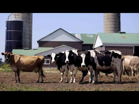 Isolated Qatar to fly in 4,000 cows to ensure milk supply