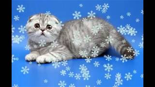 Котенок породы шотладская вислоухая. Веселая и умная кошечка