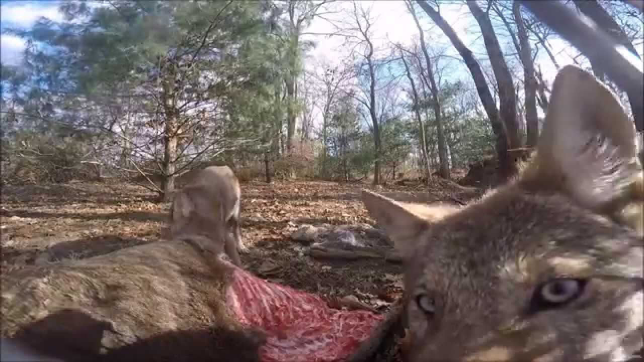 GoPro Crashes Red Wolf Dinner Party