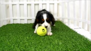 Puppies For Sale San Diego Cavalier King Puppies For Sale