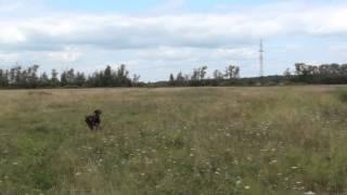 Курцхаар Тося - натаска и первая охота