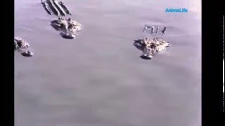 rare video lion leopard and black panther attack crocodile