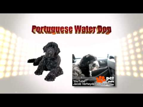 Know Your Breed: Portuguese Water Dog