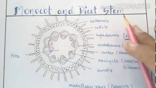 Awesome tricks to learn monocot and dicot stem/anatomy of flowering plants tricks.