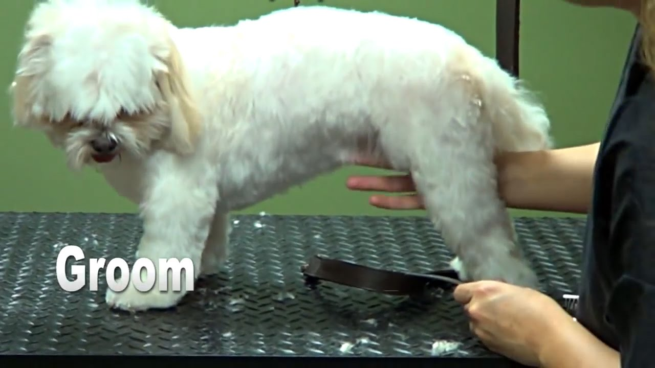 How To Groom A Shih Tzu Puppy Cut Do It Yourself Dog Grooming