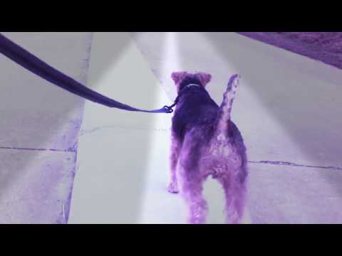 Welsh Terrier Buckley - Dog Walking Like a Champ