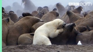 Polar Bear vs Walrus | Planet Earth | BBC Earth thumbnail