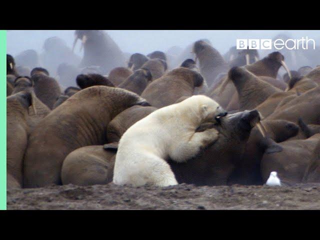 Las dificultades de un oso polar para cazar una morsa