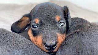dachshund-puppies-are-more-playful-now