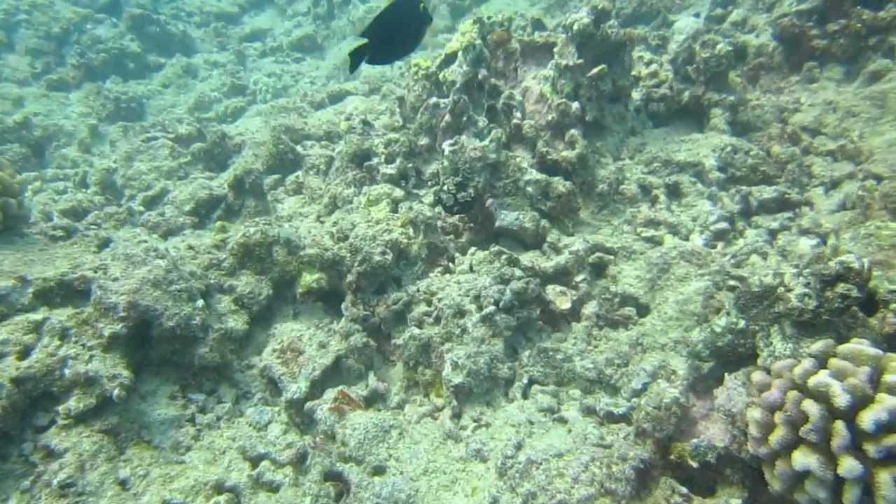 Can you find this fish devil fish that looks like a for Fish that looks like a rock
