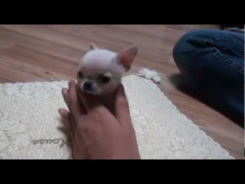 Amazing teacup chihuahua for sale