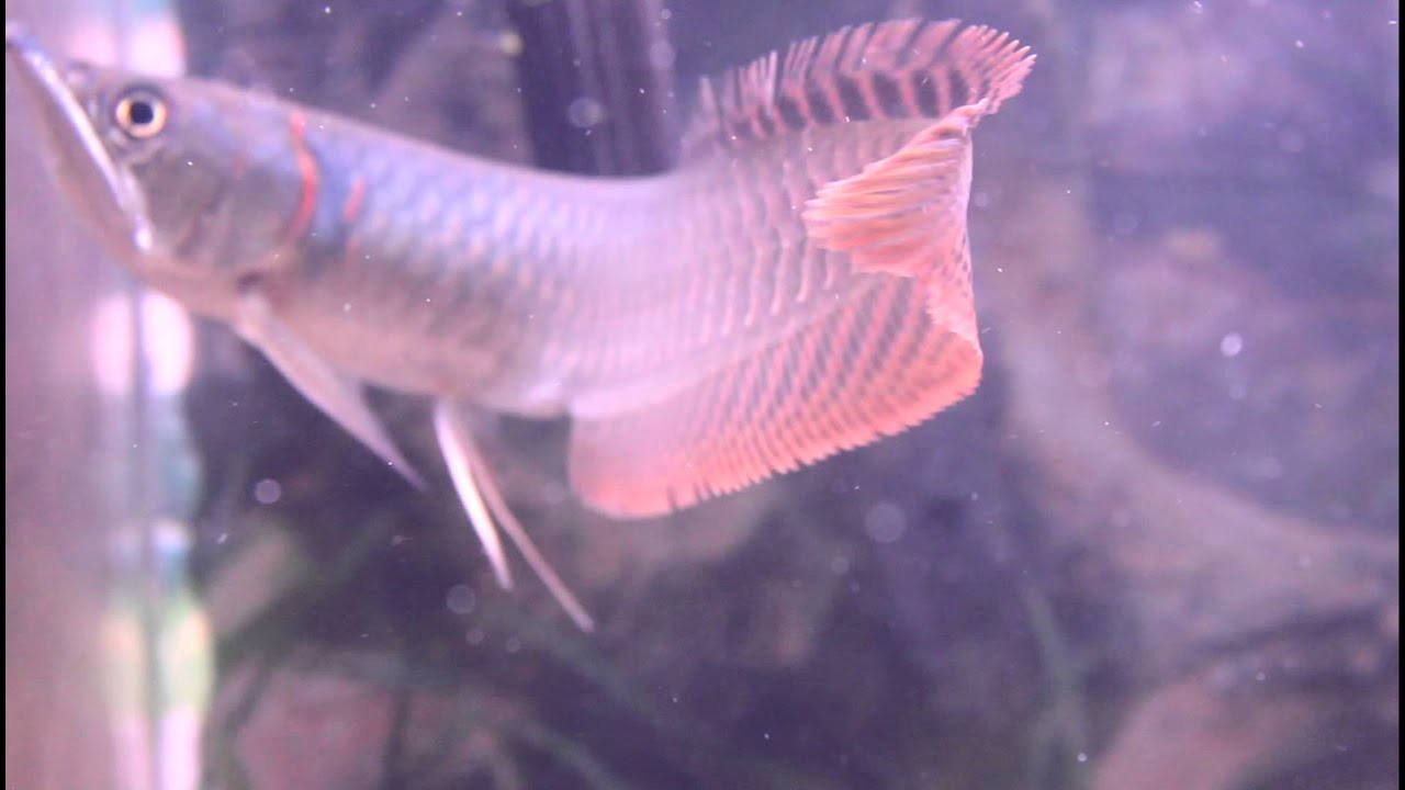 Colorful silver baby Arowana - YouTube