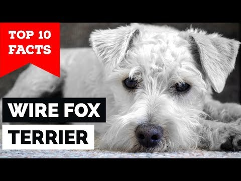 Wire Fox Terrier - Top 10 Facts  (Hunting Dog)