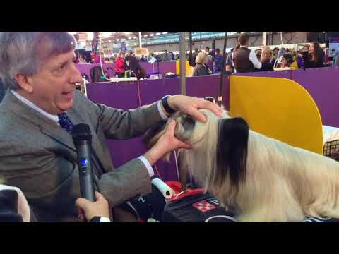 Michael Pesare: Skye Terrier at Westminster 2020