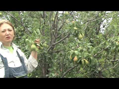 Сорта груш Pear