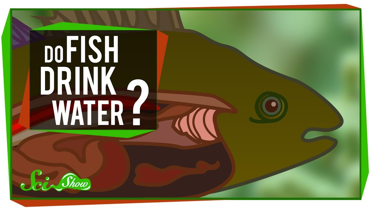 do fish drink water youtube