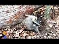 Download Raccoon Stuck Under Fallen Tree Rescued by Great Guys | The Dodo