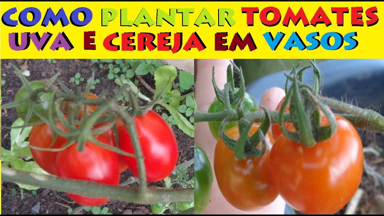 Como plantar tomates cereja e uva em vasos guia completo e for Como cultivar peces en casa