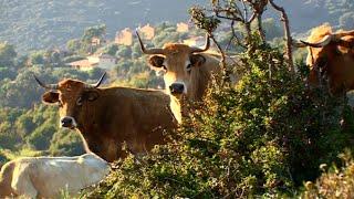 Duel de veaux : ça se joue entre les Corses et les Normands
