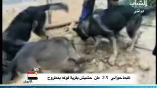 بالفيديو ضبط 2 ونص طن حشيش فى محافظة مرسى مطروح