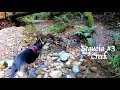 Sequoia Trail - Creek - Sequoia Sempervirens - Hiking with German Shepherd Part 3 of 4