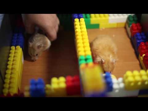 видео: Полоса препятствий для хомяков