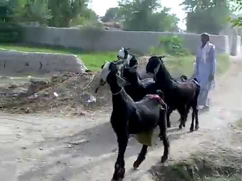 Bakra show amazing nachi goats how to walking nachi goats ناچی بکریاں کیسے  چلتی ہیں