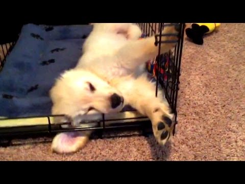 Super Cooper Sunday #2 - Clicker Training Explained (Golden Retriever Puppy)