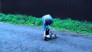 Дрессировка щенка кавказской овчарки - игра со щенком