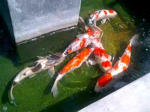 World biggest koi beautiful fish youtube for Biggest koi fish