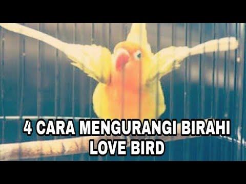 Cara Mudah untuk Mengurangi BIRAHI LOVE BIRD !!