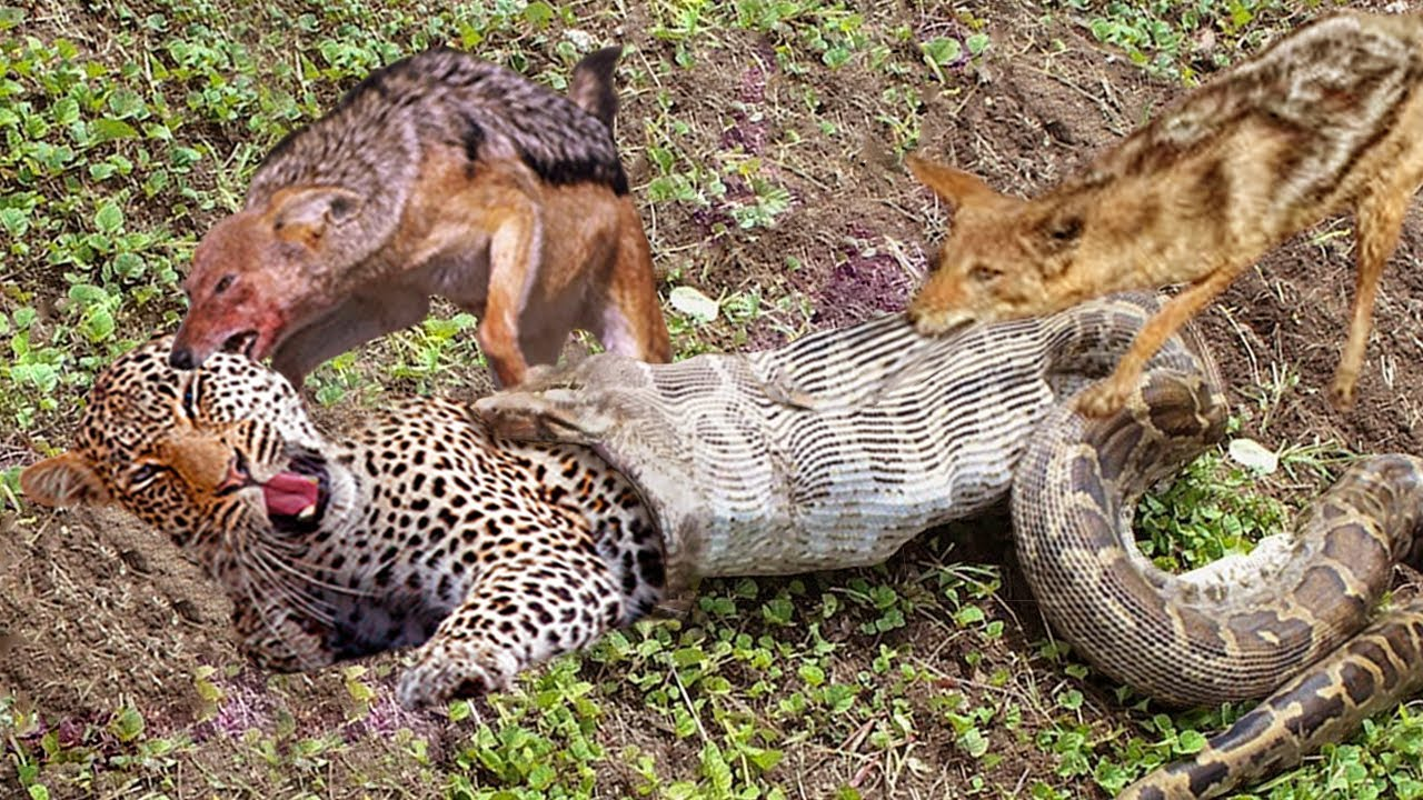 Download The best battles of the animal world, Harsh Life of Wild Animals, Lion, Buffalo, Leopard, Jackal,