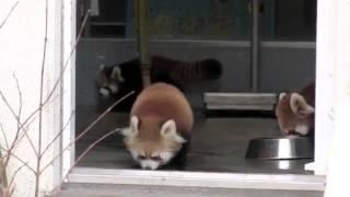 Прикол над красными пандами смотреть до конца