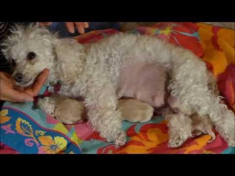 Toy Poodle giving birth to 5 healthy Maltipoo puppies - Macy, Day 59