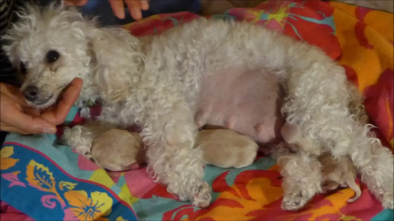 Toy Poodle Giving Birth To 5 Healthy Maltipoo Puppies