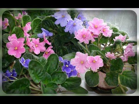 РС-Чудо Ландыш Пример цветения временно на фото из