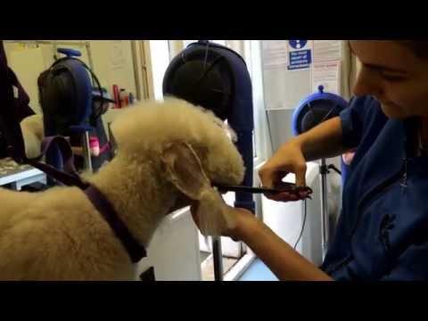 Bedlington Terrier Head Grooming (show and pet) - Dogs Delight