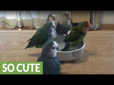 Flock of parrots take turns for bath time