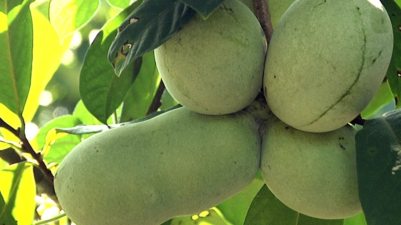 Download The Pawpaw Patch - Making It Grow