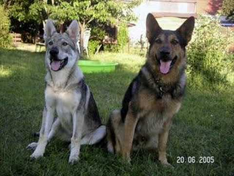 Black Dog Look Like Wolf