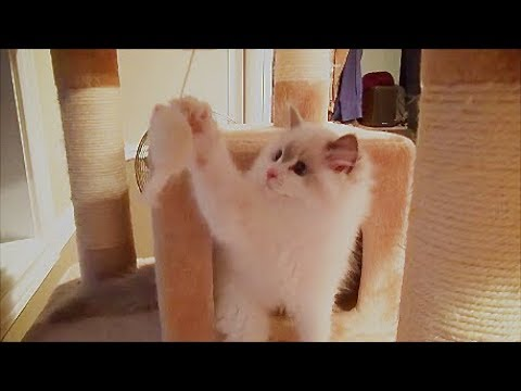 14 Week Old Ragdoll Kitten Rosey Climbs A Cat Tree For 1st Time