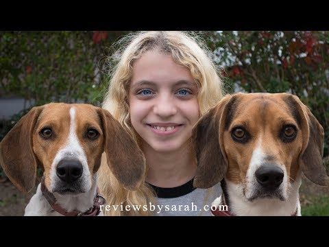 Living with Beagles - My Funny and Cute Beagle Dogs Bella and Becca