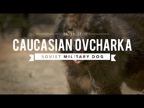 THE CAUCASIAN OVCHARKA BUILT BY THE RUSSIAN MILITARY