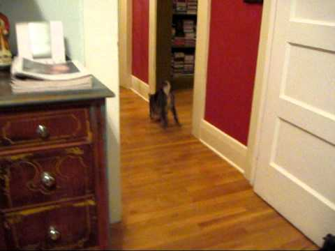 manx cat fetching.