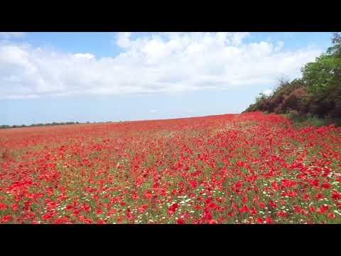 Красные маки в полях цветут...